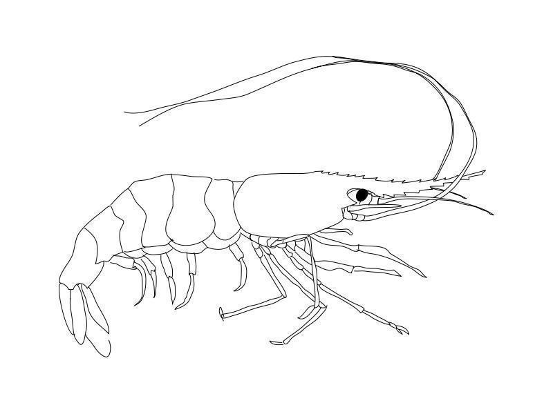 Image Gallery Shrimp Outline