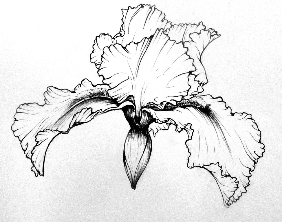 Bearded Iris Line Drawing | My Nature Book