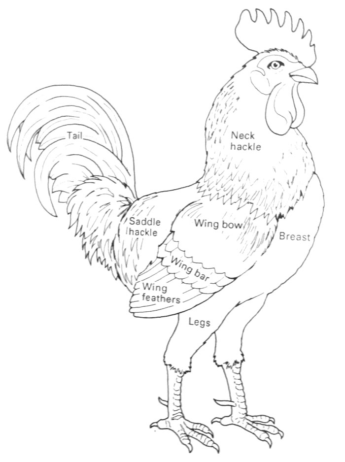 Chicken Behavior and Influence on Humans; Chicken Ethology