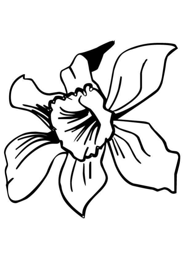 FLOWER coloring pages - Wild daffodil